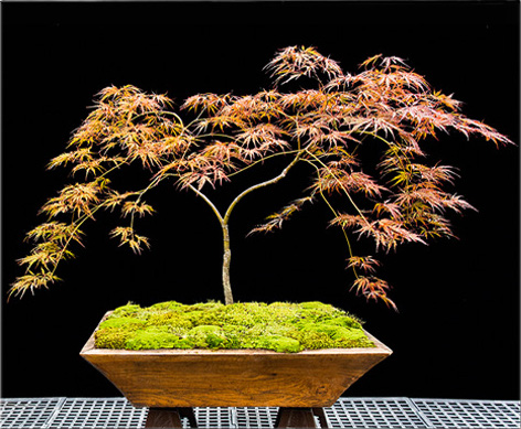 Japanese Maples Home