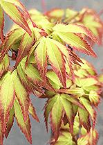 Japanese Maples Catalog